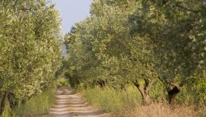 La route des oliviers dans le Var