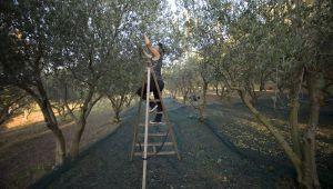 Les étapes de la fabrication de l'huile d'olive