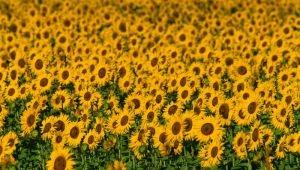 La Provence de Van Gogh