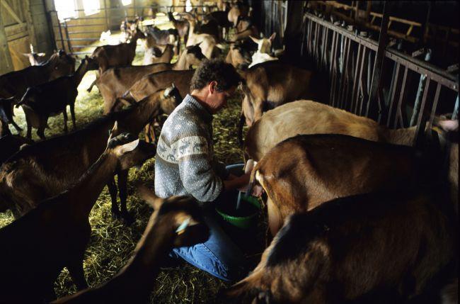 Le Picodon : un fromage qui rend chèvre !