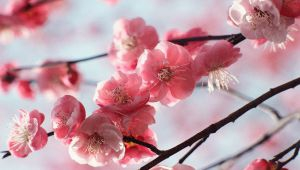 Cerisier Rouge, un parfum intense et délicat imaginé par L'Occitane