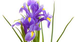 Iris de Provence, une sublime histoire