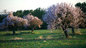 L'amande, l'élixir provençal à l'état doux
