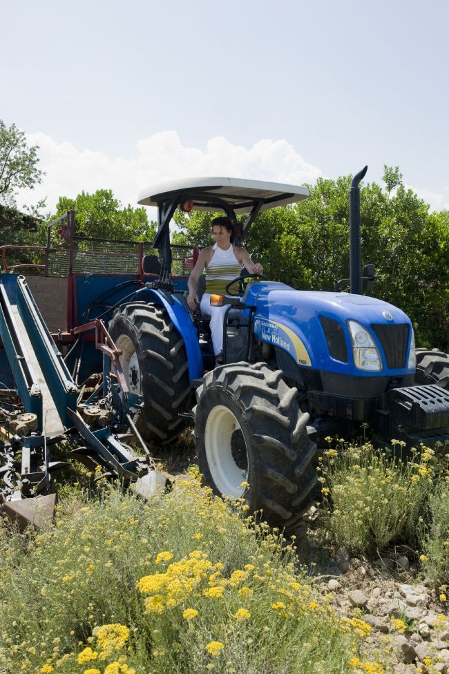 Dietro le quinte della raccolta dell'elicriso in Corsica