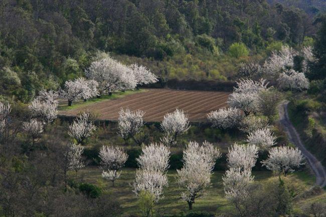 プロヴァンスのサクランボ果樹園