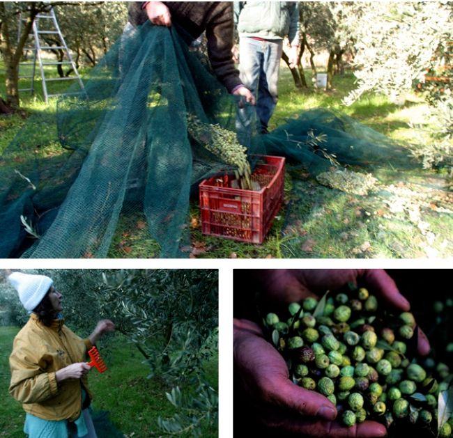 毎年恒例のオリーブ収穫
