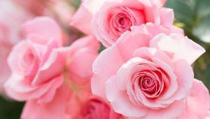 花の女王、バラ