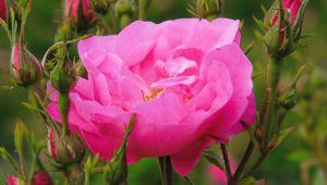 プロヴァンスでバラの収穫