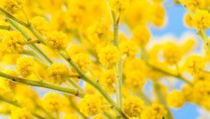 真冬に花を咲かせるミモザ