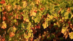 Als de Provence zijn herfsttooi aantrekt ...