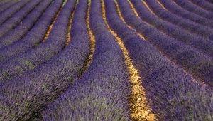 Het blauwe goud van de Provence