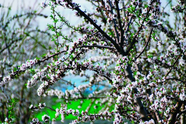 De amandelboom is terug op Provençaalse bodem