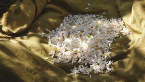 Flor de laranjeira, o doce perfume de Grasse