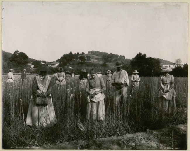 O angelus nos campos de flores de Grasse