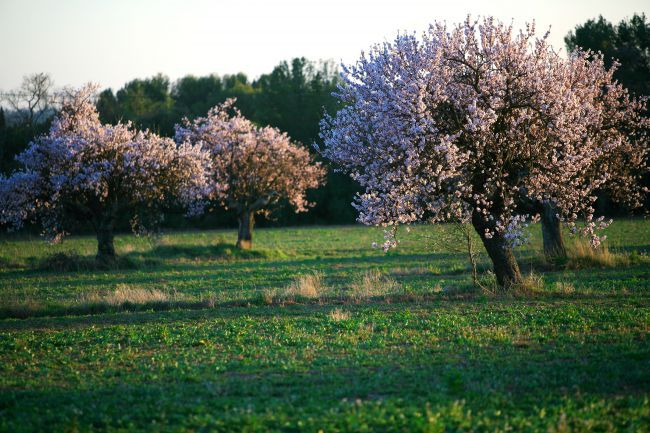 A amêndoa, elixir provençal em estado doce
