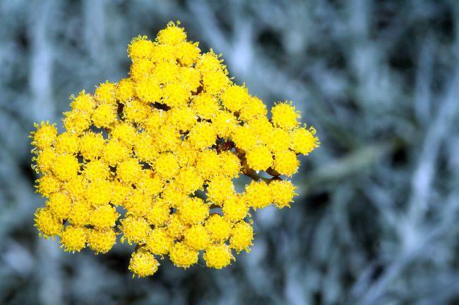 A flor imortal com mil virtudes