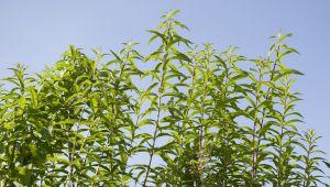 O cultivo orgânico da Verbena em Provence