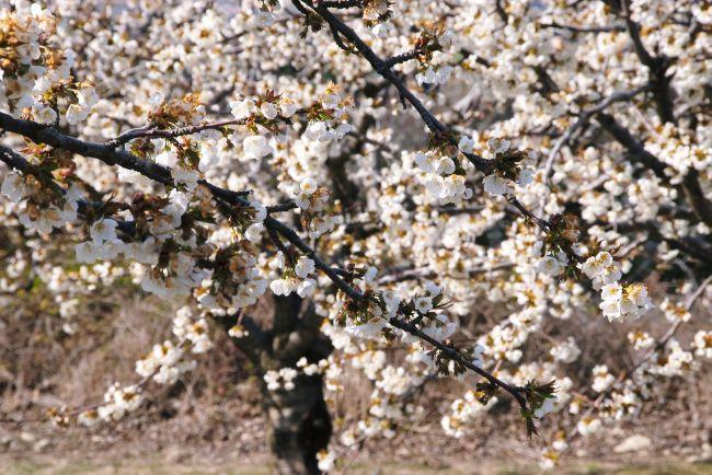Символ хрупкой женственности – цветок вишни