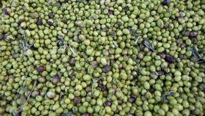 在渥克斯收获橄榄