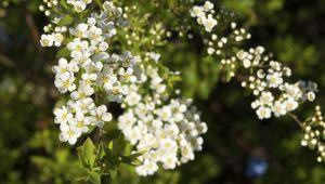 绣线菊(La reine-des-prés),满是精华的灵丹妙药