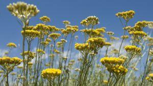 科西嘉岛蜡菊收获季节的故事