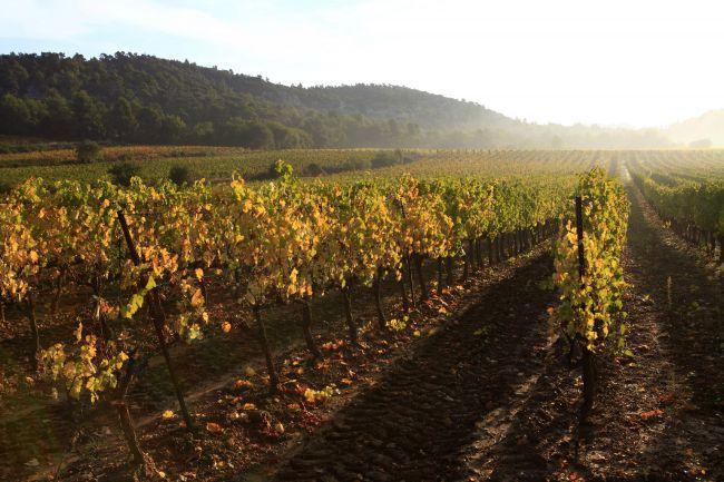 普罗旺斯艾克斯阳光葡萄园的收获季