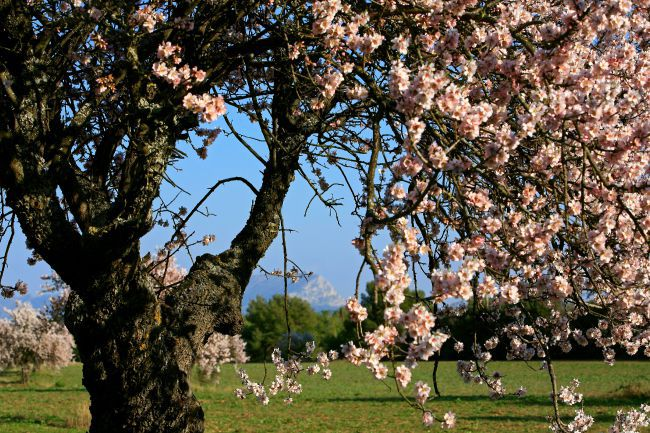 Puyricard杏树:通往繁花似锦之路