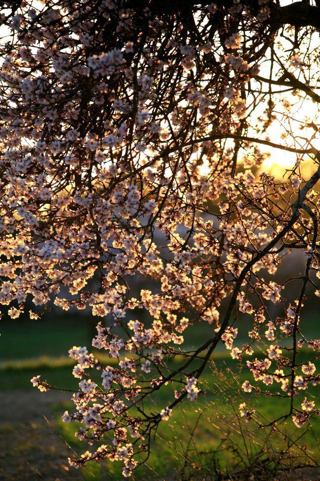 Puyricard杏树