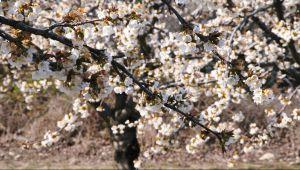 樱花,温柔女性魅力的象征