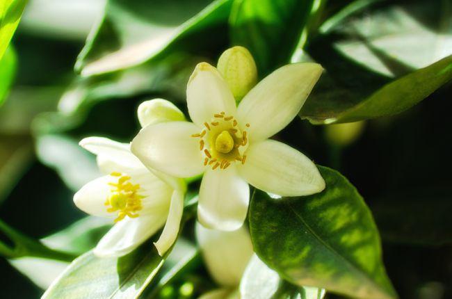 橙花, 源自普罗旺斯的甜美礼赞