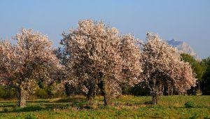 普里加爾德杏樹即將盛開