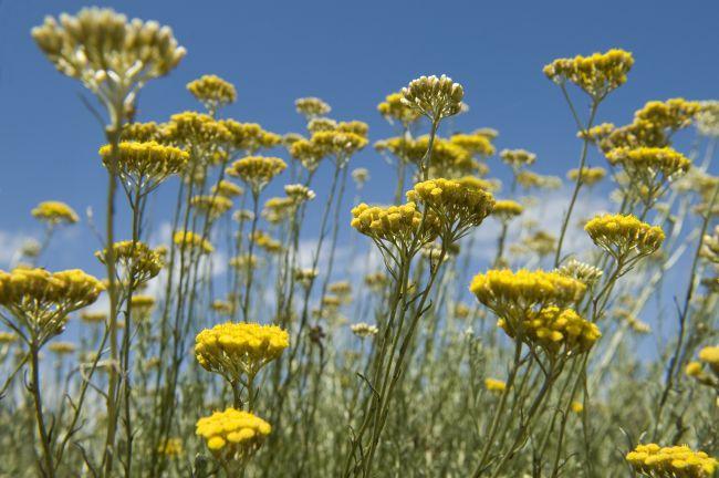 蠟菊:探訪L'OCCITANE專業植物學實驗室