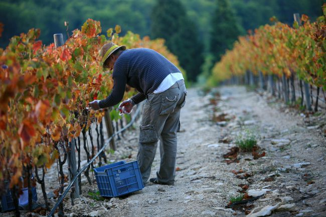 Grape Harvest Time in the Sunny Vineyards of Aix-en-Provence...
