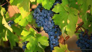 在普羅旺斯地區艾克斯之陽光充沛的葡萄園中,摘採葡萄的時節…