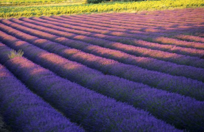 Protection of lavender: