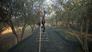 細說橄欖油的製程