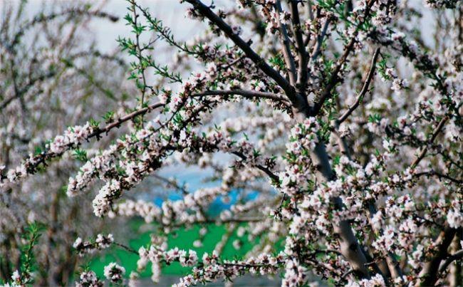 在普羅旺斯高地重獲新生的杏樹