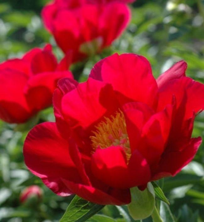 牡丹 - 以愉悅漾紅整個季節