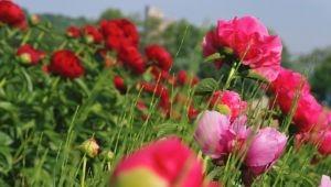 牡丹-以愉悅漾紅整個季節