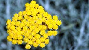 不凋花蠟菊:擁有豐富卓越功效的神奇之花